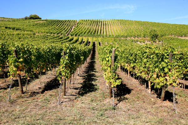 Viticulture Comment planter et cultiver la vigne Comment planter et cultiver la vigne - Vin ...