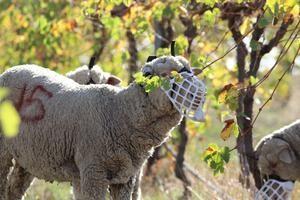 Des moutons dans les vignes pour manger les mauvaises herbes