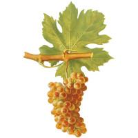 Cépage Roussanne de Savoie
