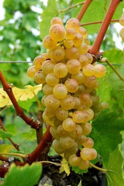 Chasselas cépage vin suisse